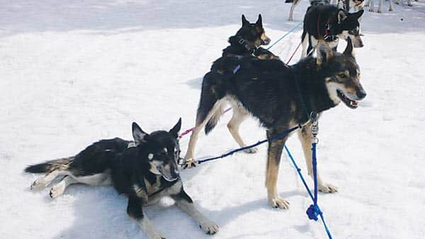 031016-Dogsled_dogs